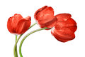 Dewy red tulip isolated on white background Royalty Free Stock Photo