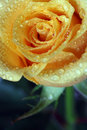 Dewy rose Royalty Free Stock Photo
