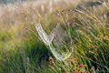 Dewy spider web between stems of grasses Royalty Free Stock Photo