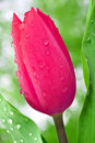 Dewy tulip Royalty Free Stock Photography