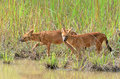 Dhole In Nature