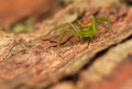 Diaea dorsata small green spider ruthless predator Stock Photos