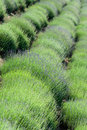 Diagonal rows Lavender plantation Royalty Free Stock Photo