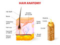 Diagram of a hair follicle in a cross section of s anatomy vector the shaft grows from the consisting transformed skin tissue the Royalty Free Stock Images
