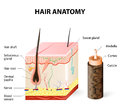 Diagram of a hair follicle in a cross section of skin layers Royalty Free Stock Photo