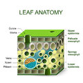 Diagram of leaf structure Royalty Free Stock Photo