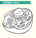 Diagram showing animal cell Royalty Free Stock Photo