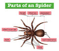 Diagram showing parts of spider
