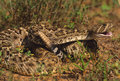 Diamonback Rattlesnake Stock Images