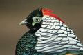Diamond pheasant the detail of Stock Images