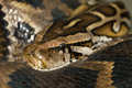 Diamond Python Morelia spilota Royalty Free Stock Photo