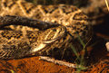 Diamondback Rattlesnake Stock Photos