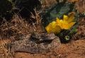 Diamondback Rattlesnake Royalty Free Stock Photo