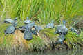 Diamondback terrapin s a gathering of along the shoreline Stock Image