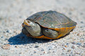 Diamondback terrapin sitting on dirt road Stock Photos
