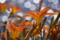 Diamonds of the Tiger Lily Royalty Free Stock Images