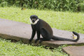 Diana monkey cercopithecus diana with orange colored backside and white beard in uganda Stock Photo