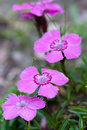 Dianthus alpinus Royalty Free Stock Photo