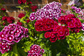 Dianthus barbatus sweet william flowers in a garden williams hardy biennial Stock Photography
