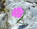 Dianthus callizonus Royalty Free Stock Photo