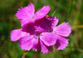Dianthus (Cernation pink) Royalty Free Stock Photo