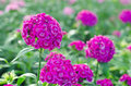 Dianthus chinensis Royalty Free Stock Photo