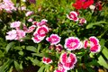 Dianthus Chinensis Flowers Royalty Free Stock Photo