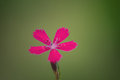 Dianthus deltoides Royalty Free Stock Photo