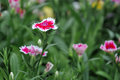 Dianthus flower Royalty Free Stock Photo