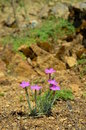 Dianthus nardiformis is a rare species that grows on rocks Stock Images