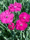 Dianthus 'Neon Star' Stock Photo