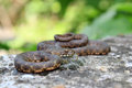 Dice snake resting a natrix tessellata Royalty Free Stock Images