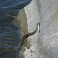 Dice snake trying to take fish out from the water natrix tessellata stone Stock Photography
