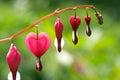 Dicentra - Bleeding Heart Flowers Royalty Free Stock Photo