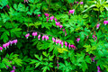 Dicentra Spectabilis, Bleeding Heart Flower Royalty Free Stock Photo