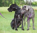 Did you see that pair of great danes looking at something to their right Stock Photography