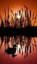 Die schwarze Ente Stockfoto
