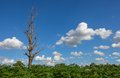 Die tree on cassava field the and blue sky Royalty Free Stock Images