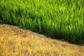 Died yellow grass and green rice plants Stock Photos
