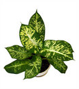 Dieffenbachia or Diffenbahia Royalty Free Stock Photo