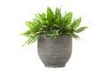 Dieffenbachia in flowerpot Royalty Free Stock Photo
