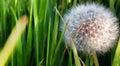 Diente de leon dandelion macro with green background Stock Photo