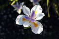 Dietes Biclour Flower Royalty Free Stock Photo