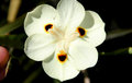 Dietes bicolor, Butterfly flag Royalty Free Stock Photo