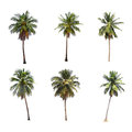 Difference of coconut tree isolated on white. Royalty Free Stock Photo