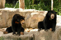 The difference of Malayan Sun Bear Stock Photography