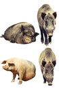 Differences between domestic pig and wild boar Royalty Free Stock Photo