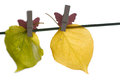 Different autumn leaves hanged on the clothesline Stock Photo