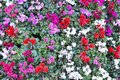 Different colors of cyclamen