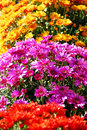 Different colors and varieties of chrisanthemums Stock Image